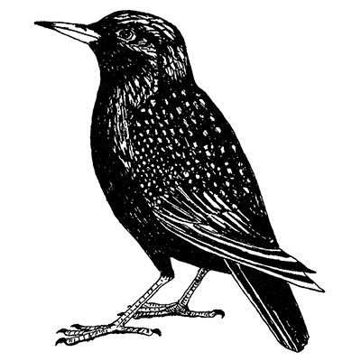 You can order this Starling