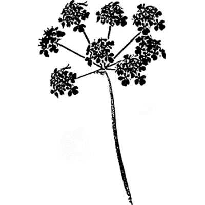 You can order this Cow Parsley