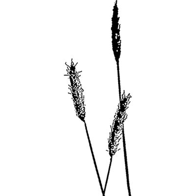 You can order this Foxtail Grass