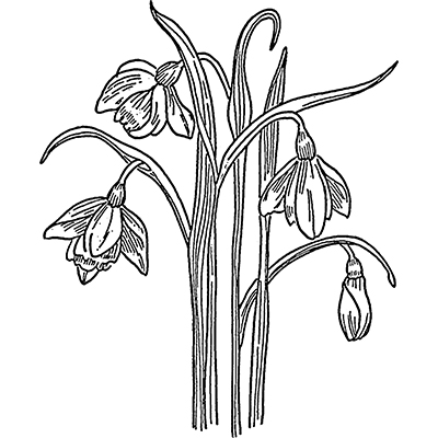 You can order this Snowdrops