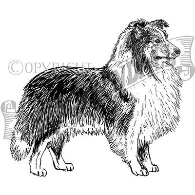 You can order this Shetland Sheepdog