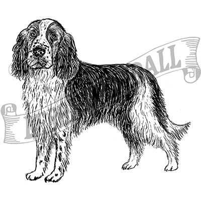 You can order this Springer Spaniel