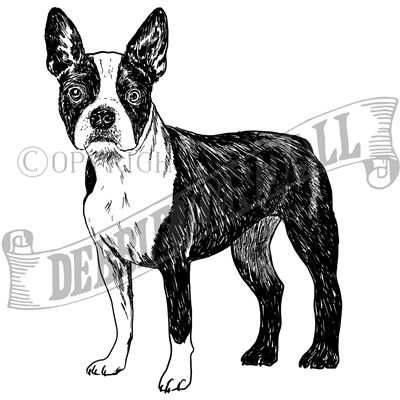 You can order this Boston Terrier
