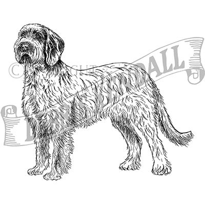 You can order this Spinone Italiano
