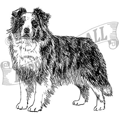 You can order this Australian Shepherd