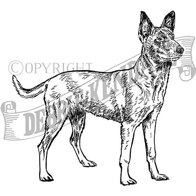 You can order this Belgian Malinois