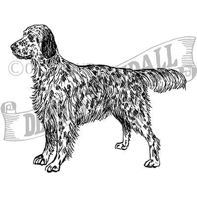 You can order this English Setter